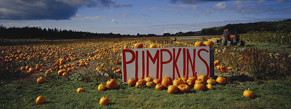 Pumpkin field, Seattle, Washington State, United States of America, North America - 812-186