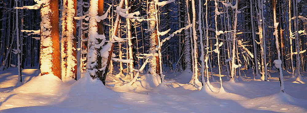 Spruce Forest (Picea abies) in winter, Bavarian Forest National Park, Germany