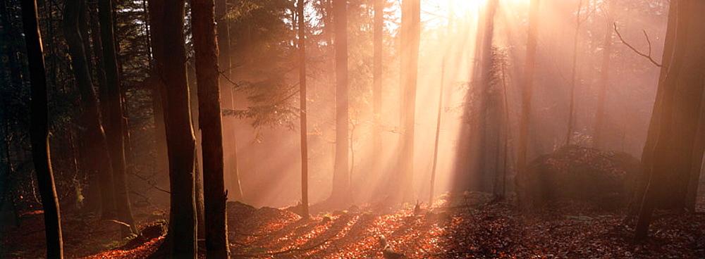 Foggy forest, Bavaria, Germany