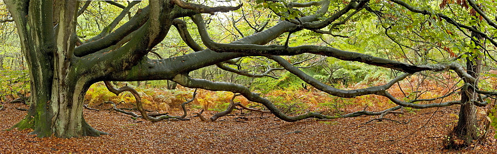 Beech (Fagus sylvatica), tree panorama, nature reserve, ancient forest of Sababurg, Reinhard Forest, Hofgeismar, North Hesse, Germany, Europe