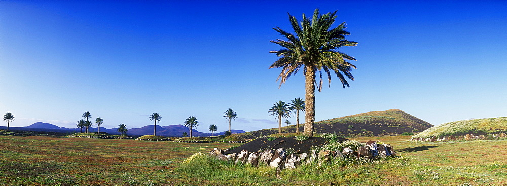 Date palms in a volcanic landscape near Uga, Lanzarote, Canary Islands, Spain, Europe