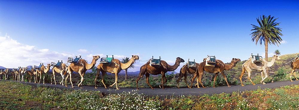 Camel caravan near Uga, Lanzarote, Canary Islands, Spain, Europe