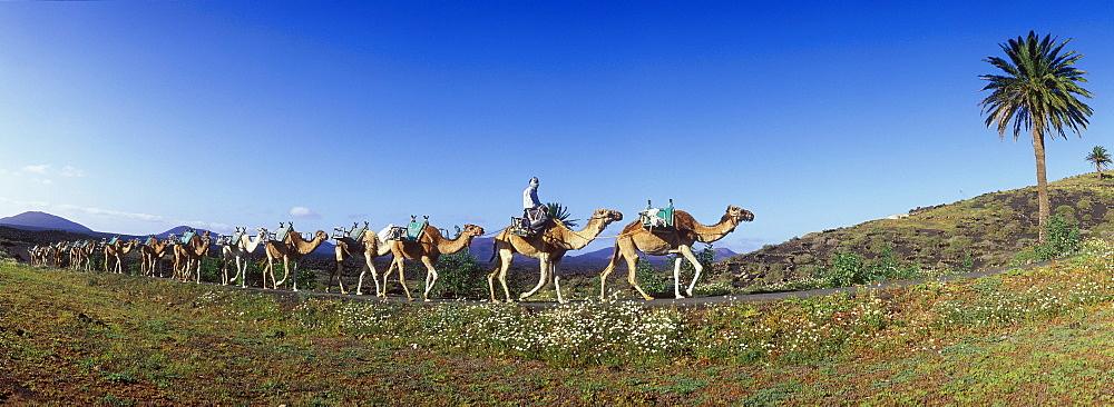Camel caravan in volcanic landscape near Uga, Lanzarote, Canary Islands, Spain, Europe
