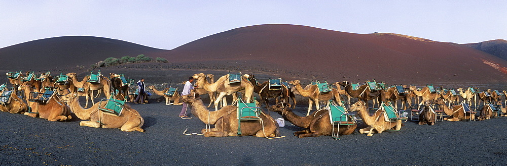 Camel caravan in the volcanic landscape of Montana del Fuego de Timanfaya National Park, Lanzarote, Canary Islands, Spain, Europe