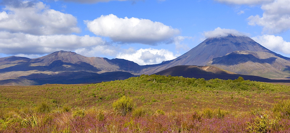 Tongariro National Park, the two volcanoes Mount Tongariro and Mount Ngauruhoe rise from a plain with flowering heather, Tongariro National Park, North Island, New Zealand