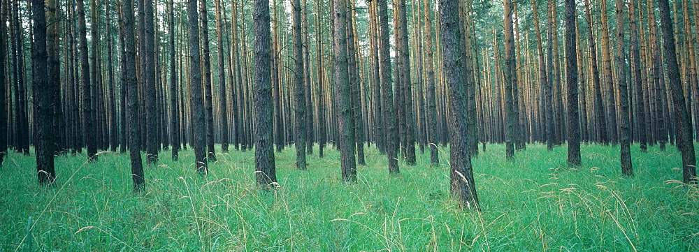 Pine forest, monoculture, Germany, Europe