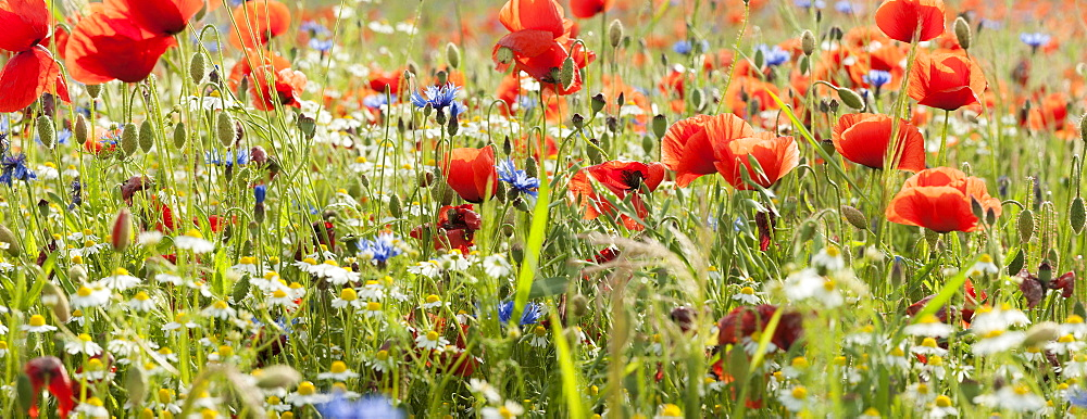 Flower meadow with poppies (Papaver rhoeas), Tulling, Bavaria, Germany, Europe