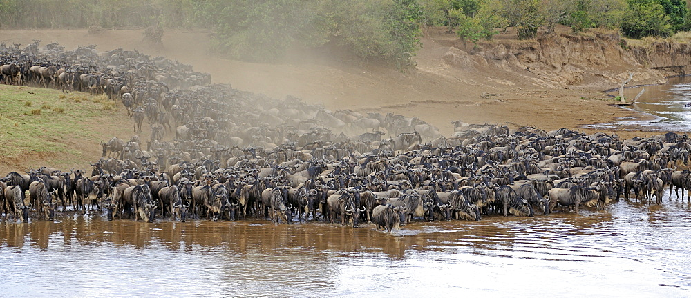 Wildebeest (Connochaetes taurinus), Gnu migration, wildebeest jostling on the shore of the Mara River, Masai Mara, East Africa, Africa