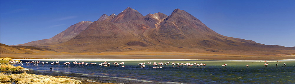 Flamingos (Phoenicopteriformes, Phoenicopteridae) in a blue lagoon in front of volcanic mountains, Uyuni, Bolivia, South America