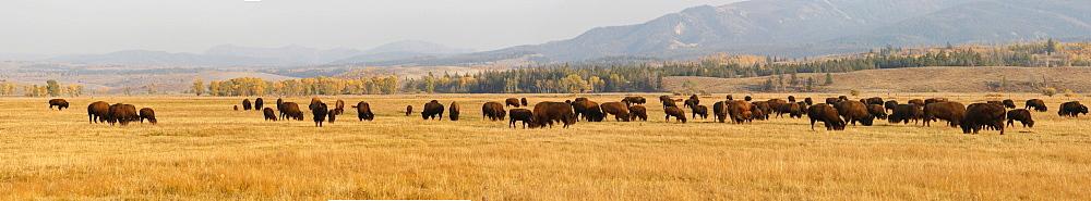 Panoramic view, bison herd, American Bison or American Buffalo (Bison bison), Grand Teton Parkway, Wyoming, USA