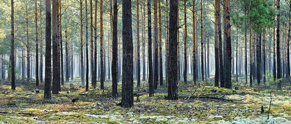 Pine forest (Pinus), monoculture, morning mist, moss and lichen covered ground, Brandenburg, Germany, Europe
