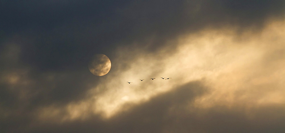 Greylag geese (Anser anser) in flight, cloudy sky with the moon, near Potsdam, Brandenburg, Germany, Europe