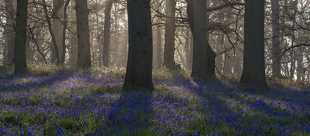 A view of the bluebells in the woodland at Blickling, Norfolk, England, United Kingdom, Europe - 842-529