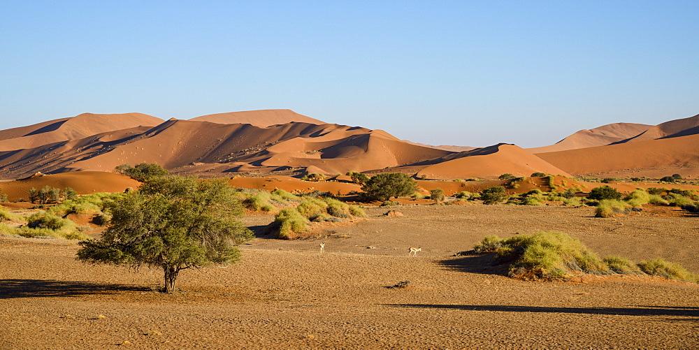 A couple of springbok enjoy a peaceful evening at Sossusvlei, Namib Naukluft, Namibia, Africa