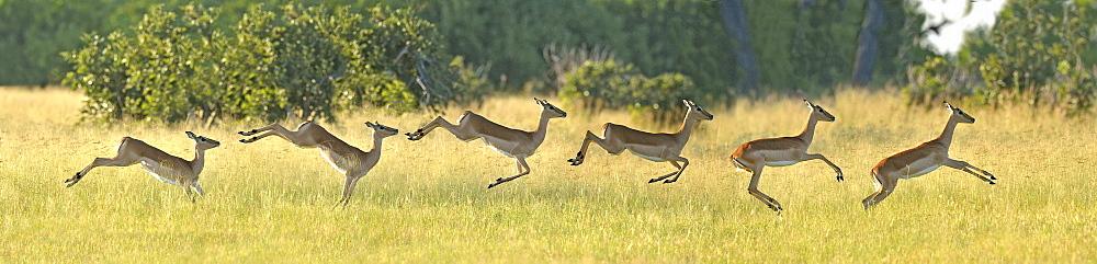Impala race, Savuti Chobe NP Botswana