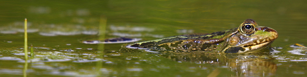 Lowland frog in a pond, France