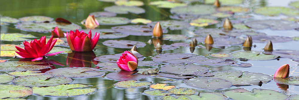 Pool frog in Water Lilies, France