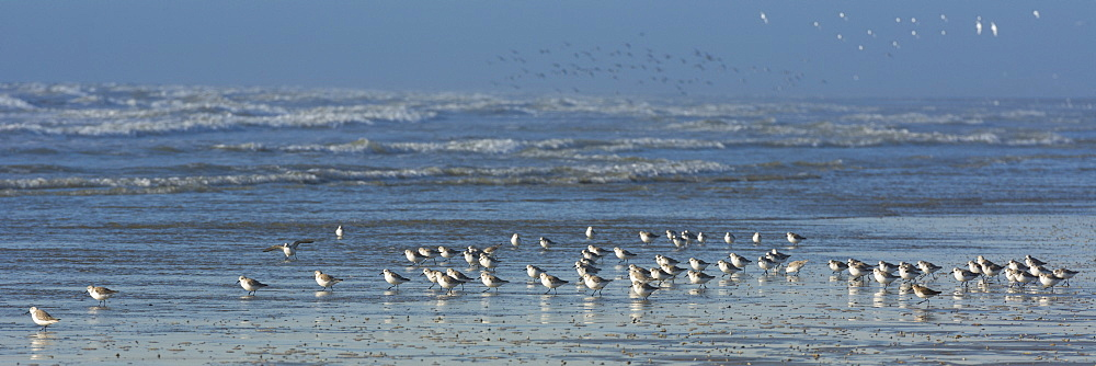 Gathering Sandpipers on the beach, Picardy France