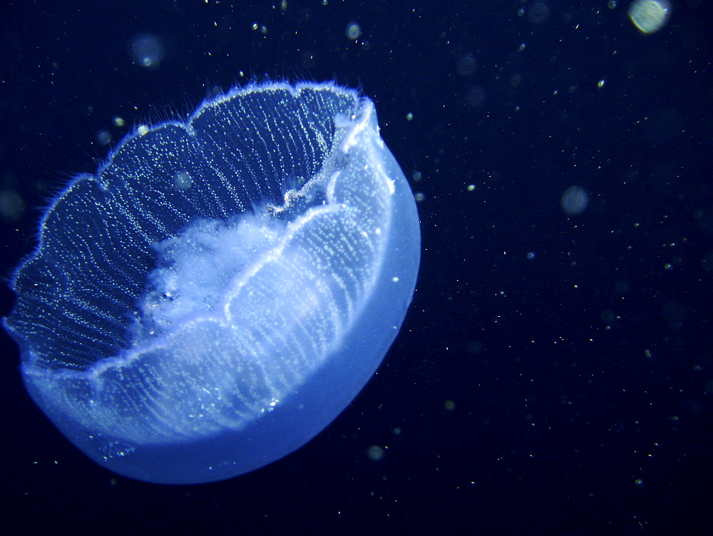 Jellyfish. Red Sea, Egypt.   (RR) - 1022-29