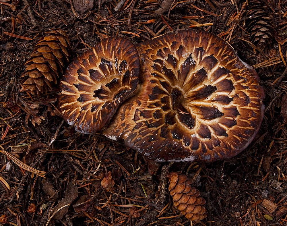 Mushrooms, Beartooth Mountain Mushroom, Beartooth Mountains; Wyoming;  - 1065-10