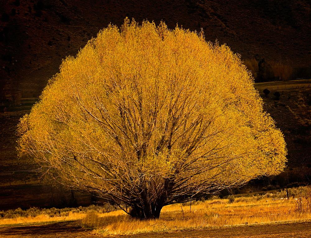 Yellow Willow Tree; Gardner; Montana - 1065-36