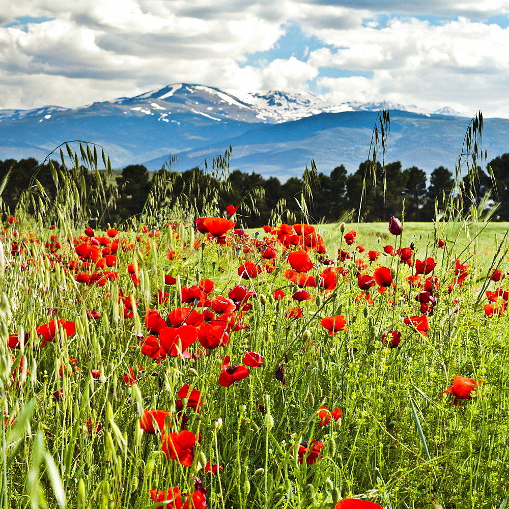 Wild poppies (Papaver rhoeas) and wild grasses in front of snow capped Sierra Nevada mountains, Andalucia, Spain, Europe - 1102-28