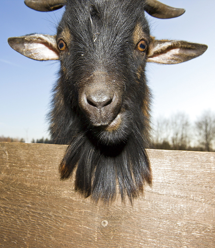 Domestic goat portrait, Capra hircus, Germany, Bavaria