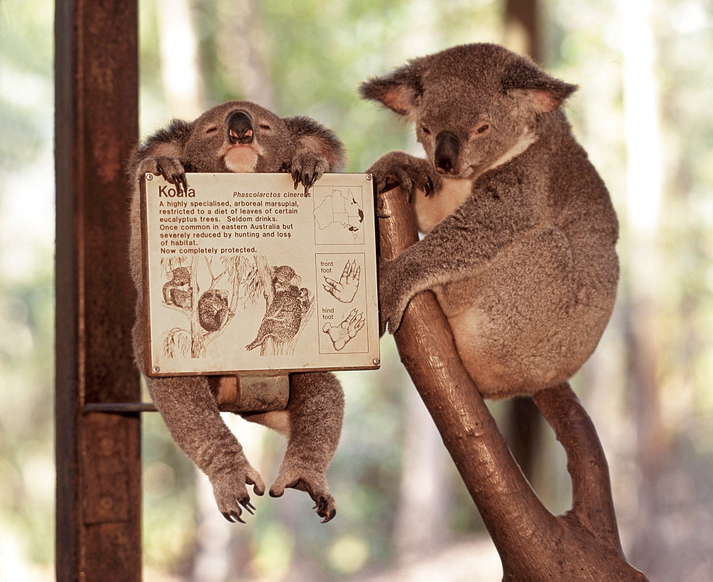 Koala bears in Zoo, Queensland, Australia