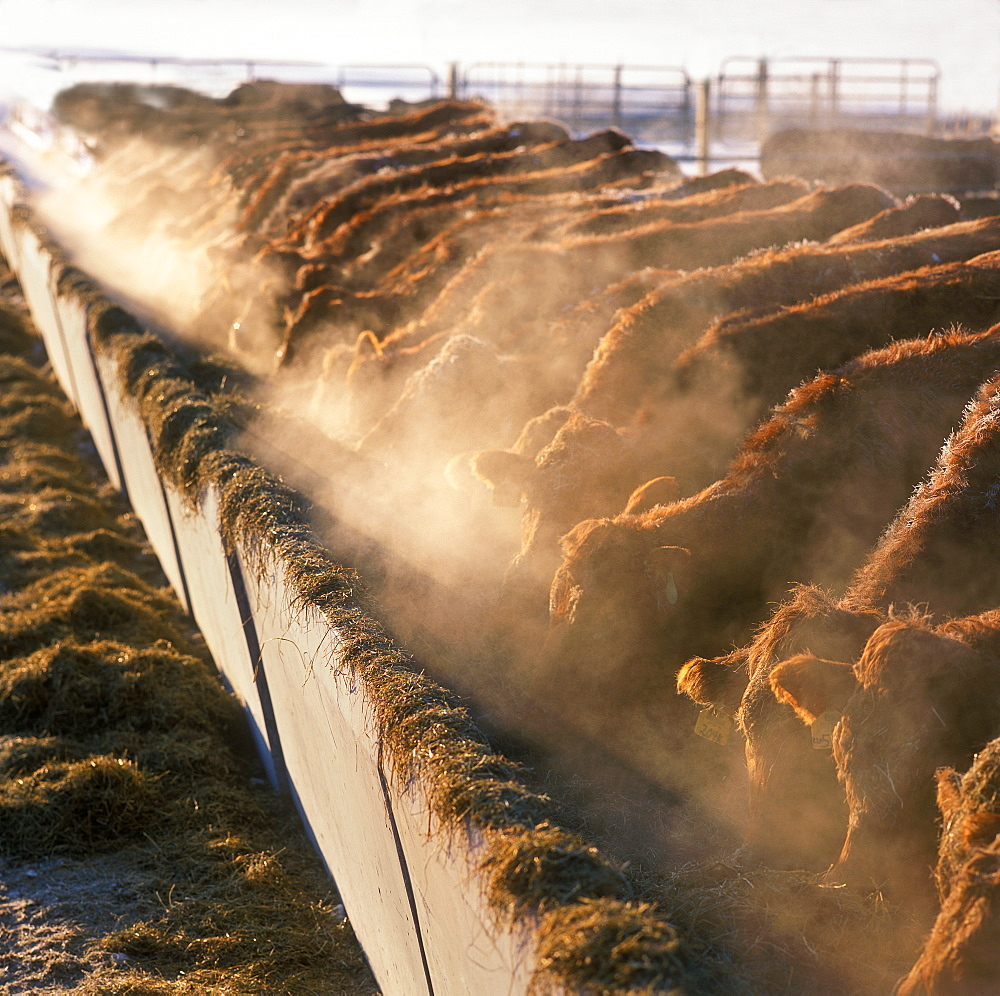 Livestock - Crossbred beef cattle feed on silage at a beef feedlot on a cold day / Ontario, Canada.