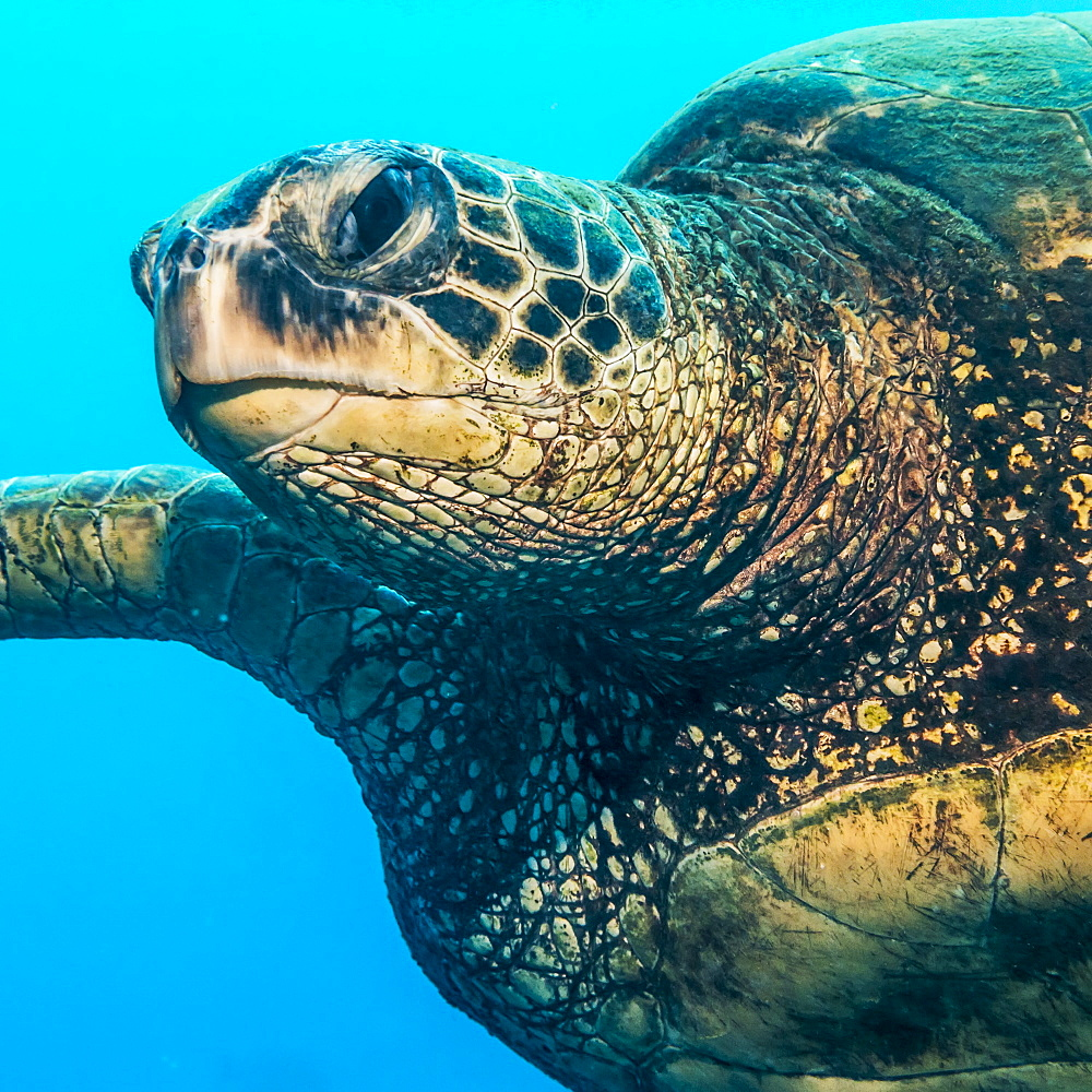 Green Sea Turtle (Chelonia mydas) swimming off Kauai, Hawaii, during the spring, Kauai, Hawaii, United States of America