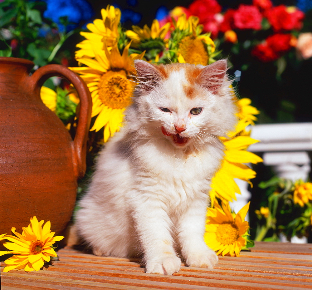 Domestic Cat, kitten, licking its mouth