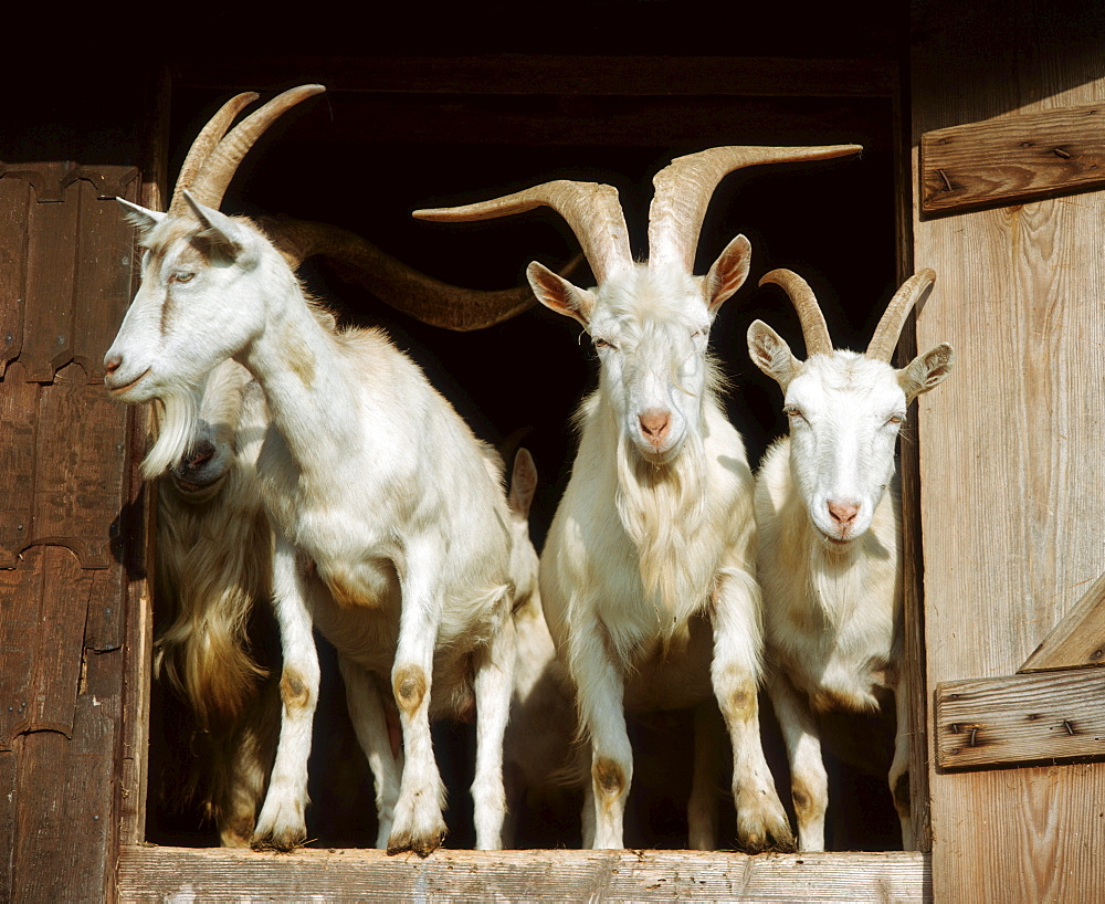 Domestic Goat looking out of stable
