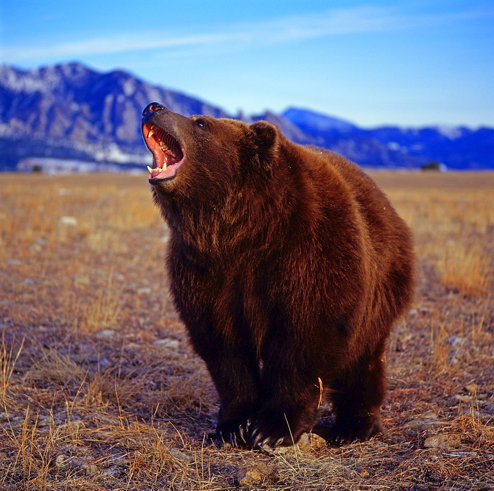 Kodiak Bear / (Ursus arctos middendorffi) / Brown Bear