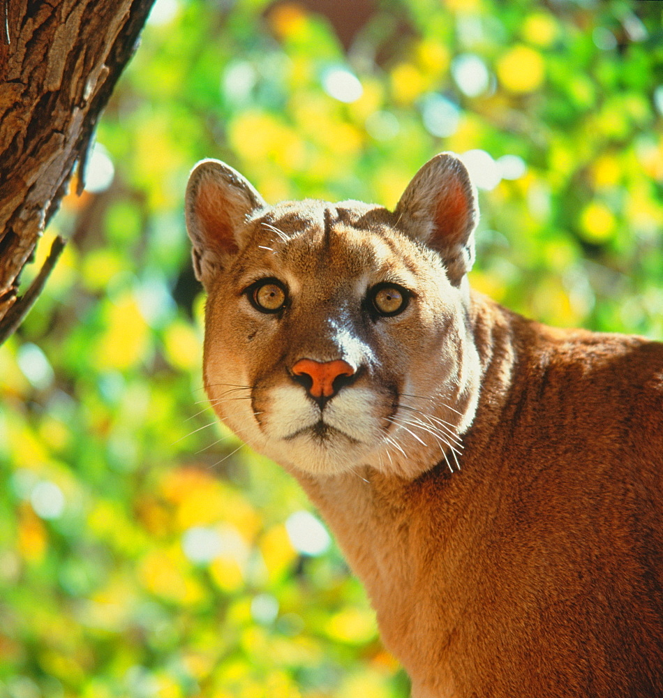 Cougar / (Felis concolor) / Puma, Mountain Lion
