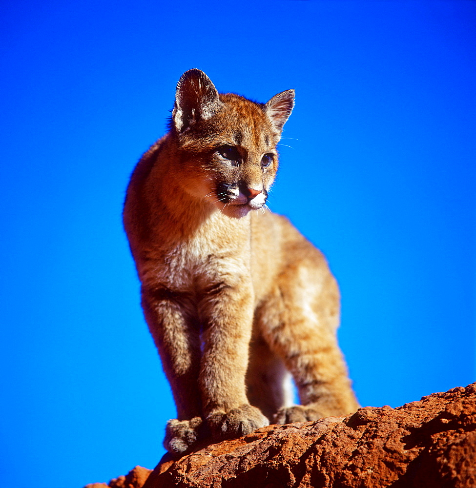 Cougar, cub / (Felis concolor) / Puma, Mountain Lion