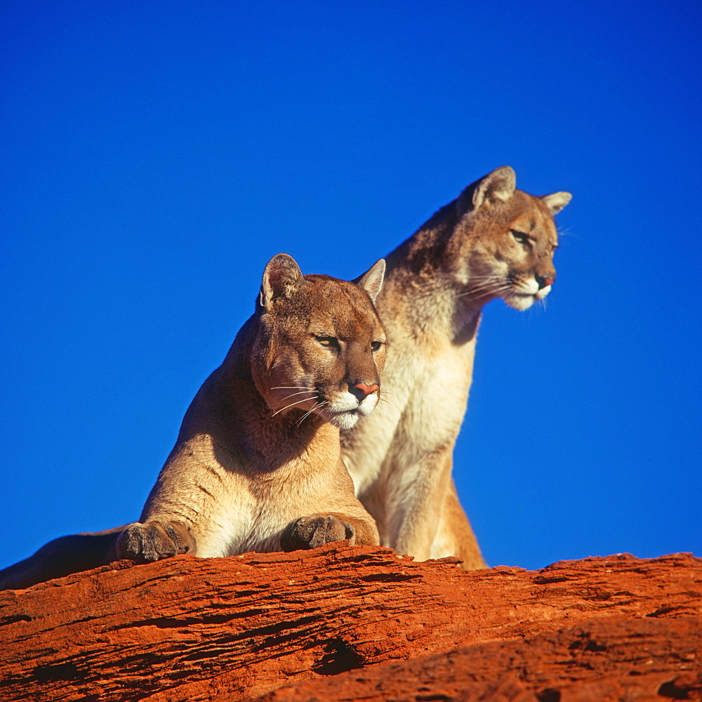 Cougars / (Felis concolor) / Puma, Mountain Lion