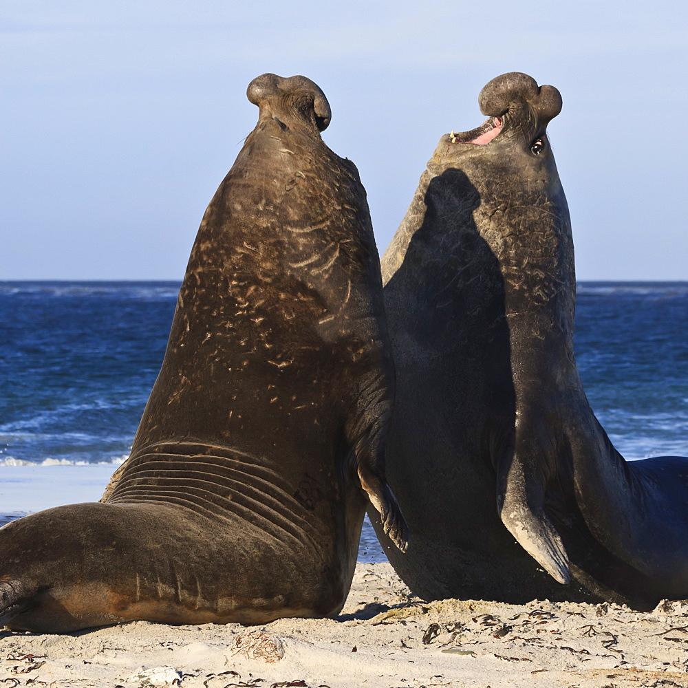 Two southern elephant seal (Mirounga leonina) bulls rear up to establish dominance, Sea Lion Island, Falkland Islands, South America