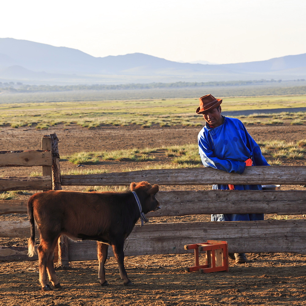 Man in traditional blue deel and hat leans on fence and talks to calf dawn in summer, Nomad camp, Gurvanbulag, Bulgan, Mongolia, Central Asia, Asia