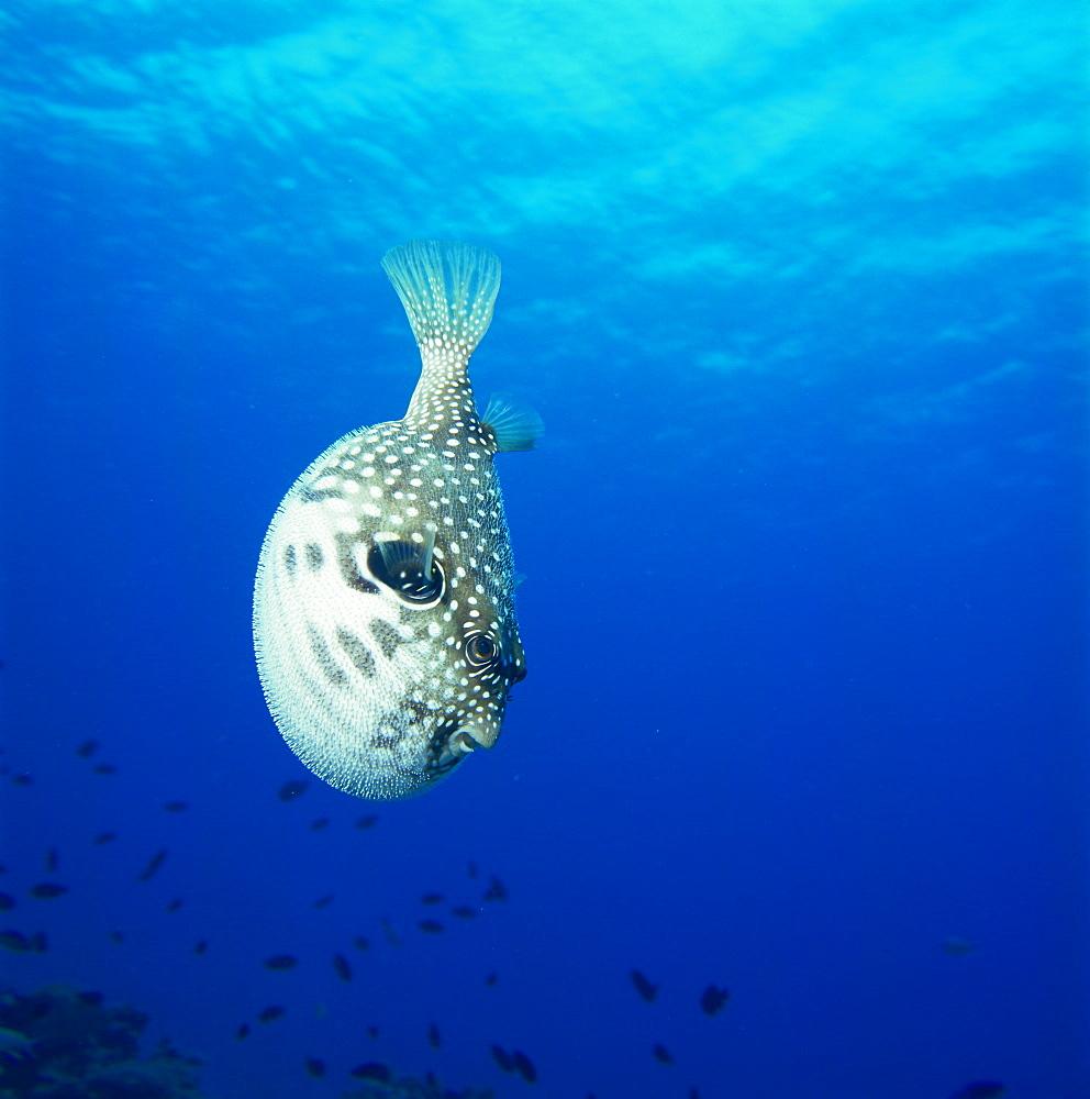 Arothron Hispidus, Kerama Islands, Okinawa, Japan
