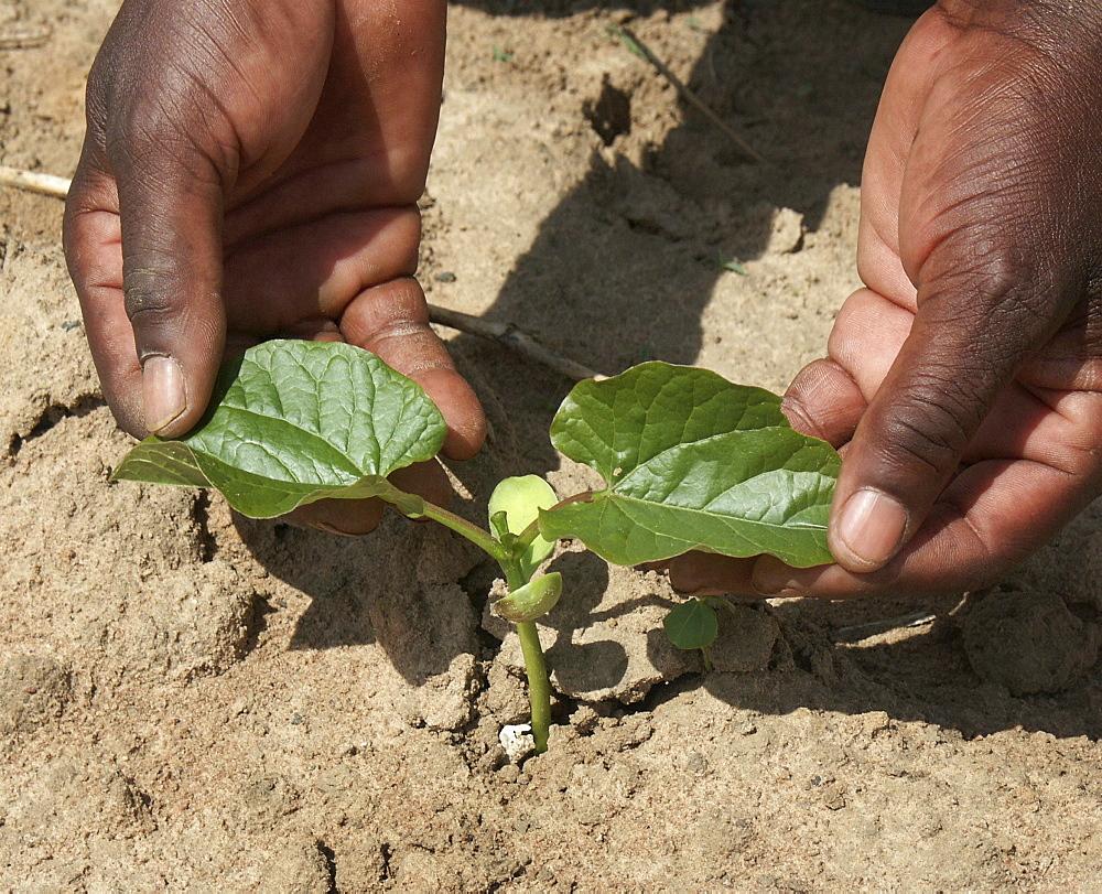 Zambia green velvet bean seedling, lusaka
