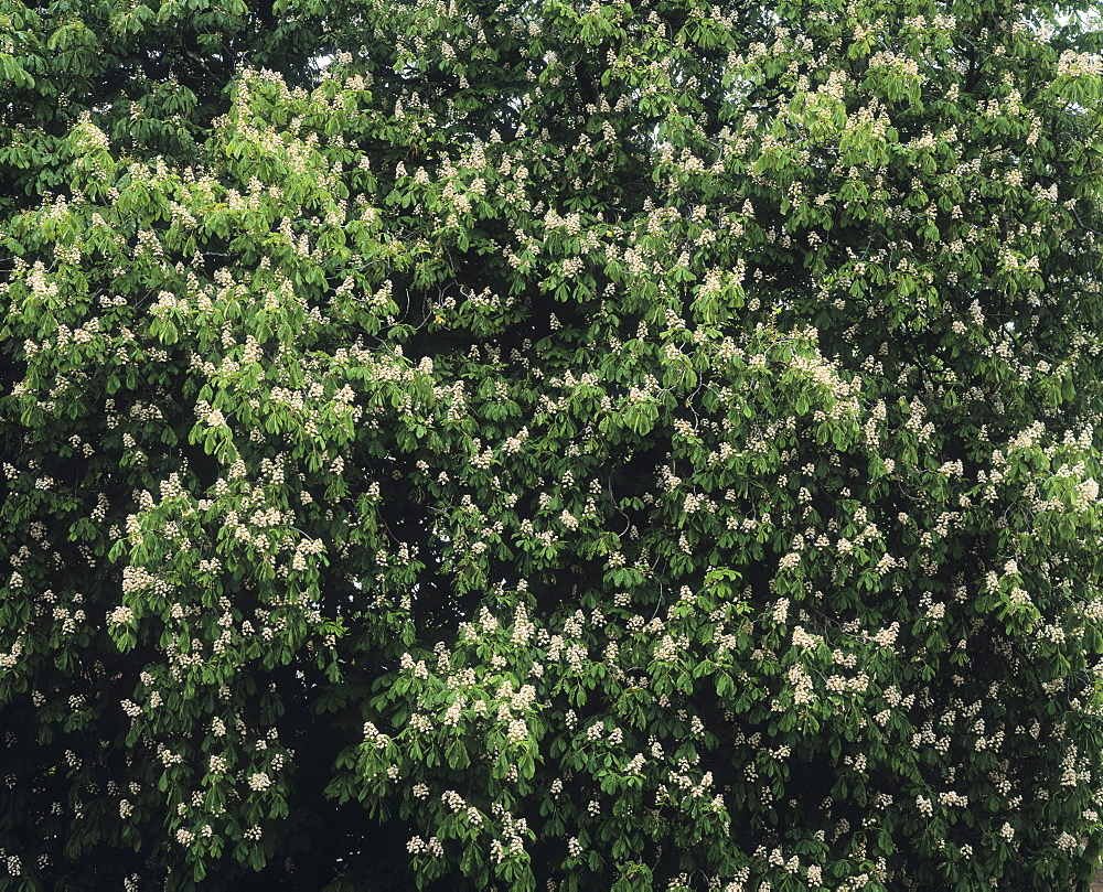 Chestnut Tree blossom, United Kingdom, Europe
