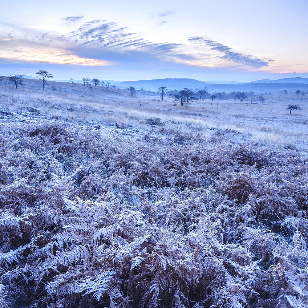 Heavy frost on bracken and a slight mist on the heathland of Woodbury Common, near Exmouth, Devon, England, United Kingdom, Europe - 1295-101