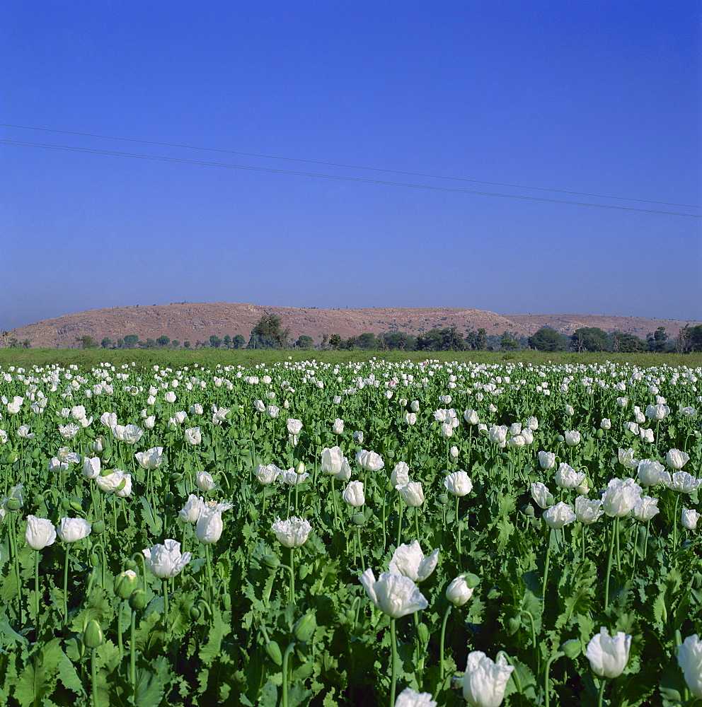 Field of opium poppies, Rajasthan, India, Asia - 136-192