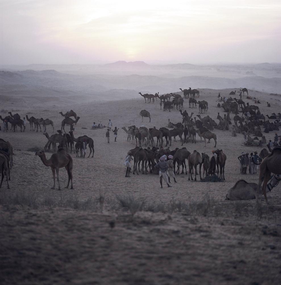 Camels and traders, Pushkar Camel Fair, Pushkar, Rajasthan State, India, Asia - 136-435
