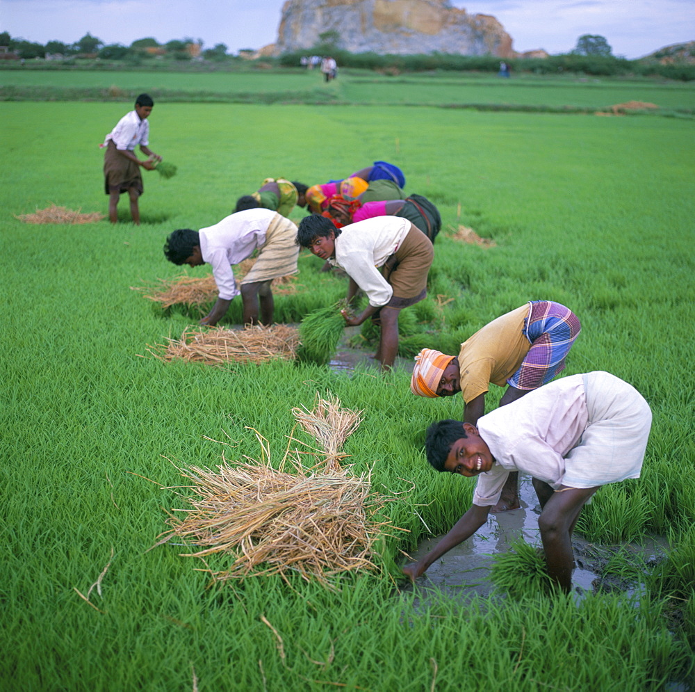 Image result for rice paddy field india