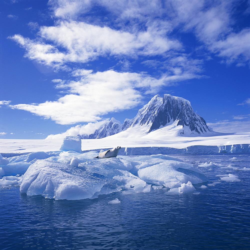 Crabeater seal on ice floe, west coast of Antarctic Peninsula, Antarctica, Polar Regions