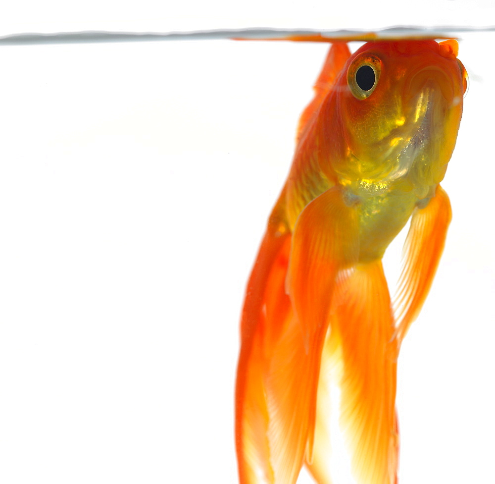 Goldfish just below surface of the water