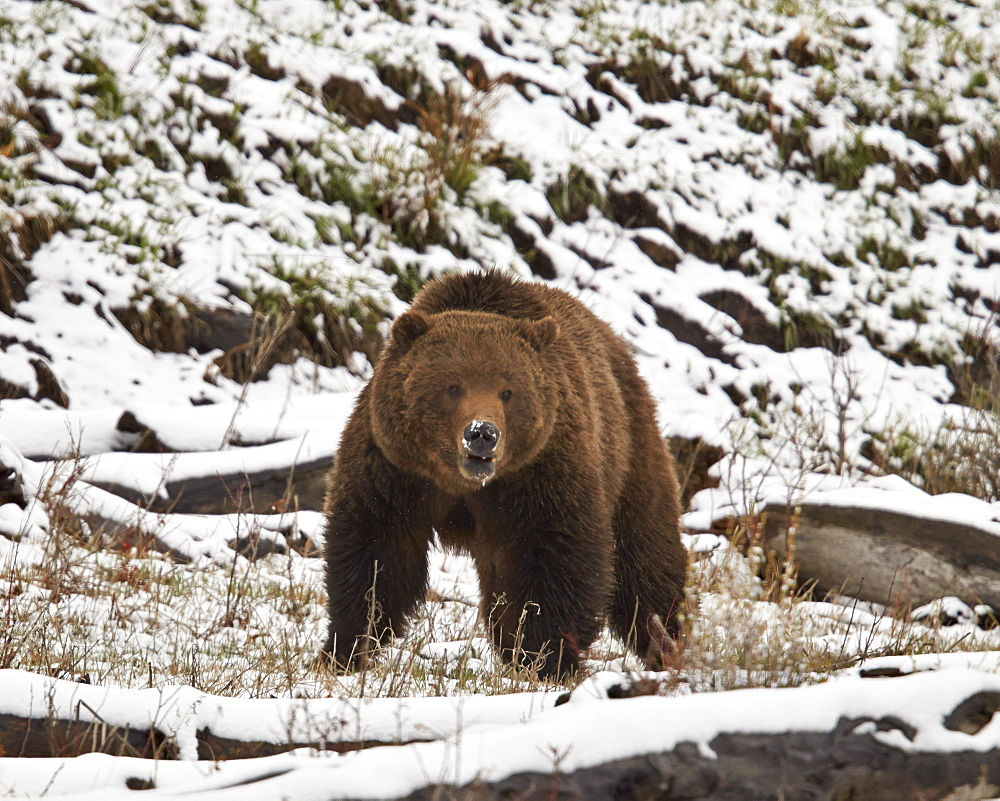 Grizzly bear (Ursus arctos horribilis) in the snow in the spring, Yellowstone National Park, Wyoming, United States of America, North America