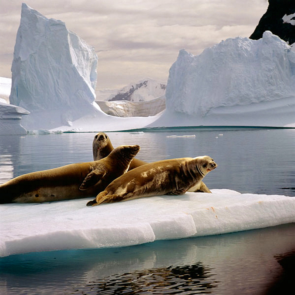 Weddell Seals (Leptonychotes weddelli), Antarctica, South Pole