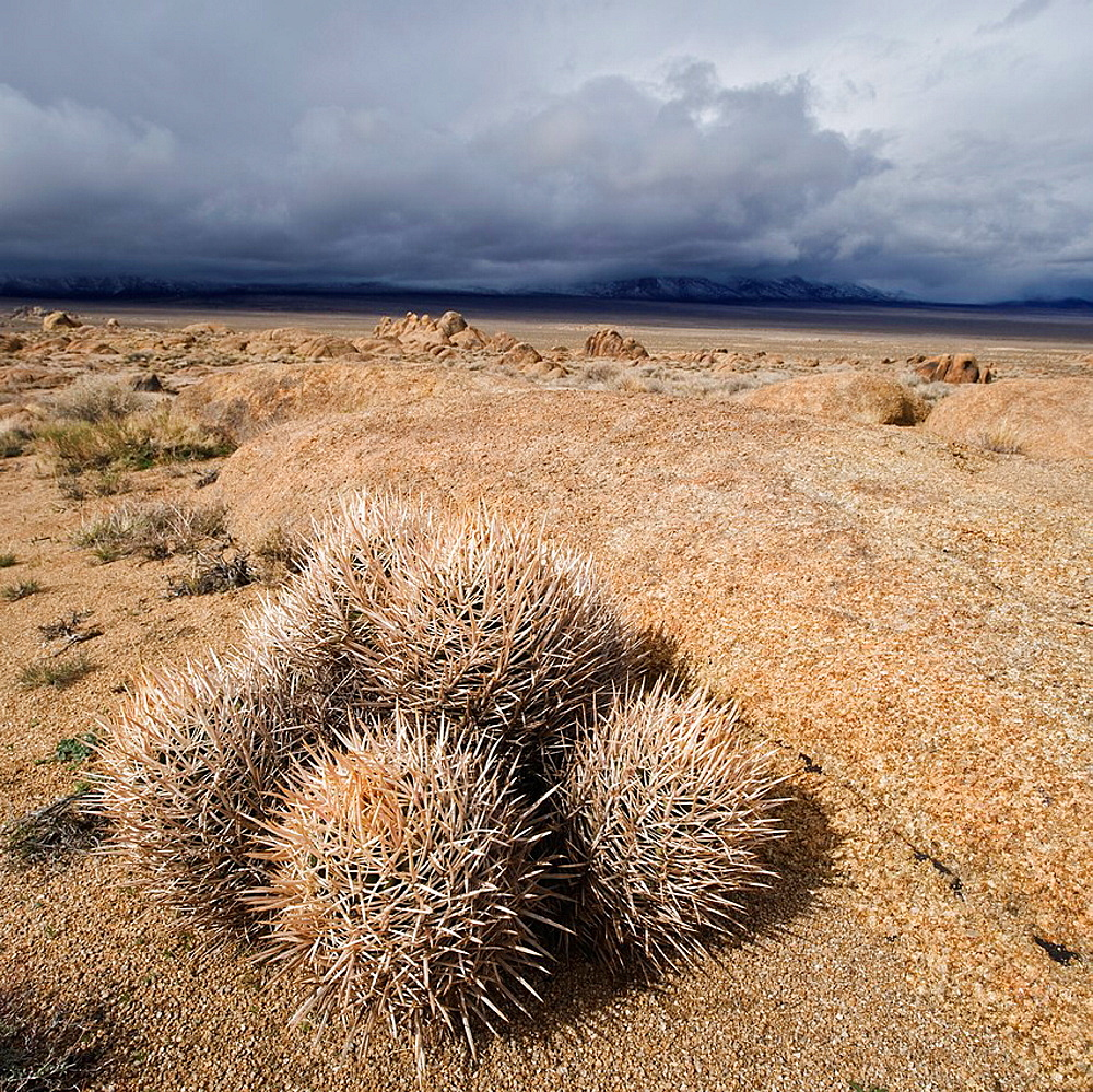 Barrel cactus and Alabama Hills, Owens Valley, California